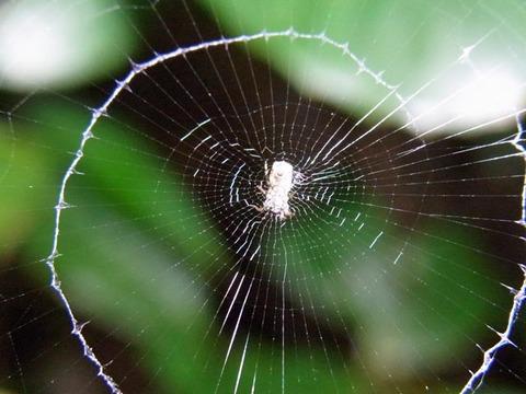 ヨツデゴミグモ